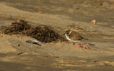 Snowy Plover Getting Shelter Behind a Wind Break