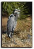 Visiting Great Blue Heron