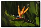 Backlit Bird of Paradise