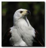 SD WAP African Fish Eagle_001.jpg