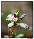 Azelia Bud in Snow
