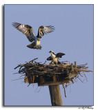 Ospreys during Mating Season