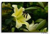 Longwood Easter Lilies
