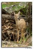 Deer @ Great Falls