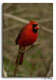 Cardinal at Radner Lake NP