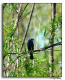 Blue Grossbeak