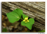 Downy Yellow Violet