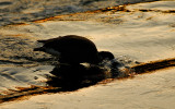 Canada Goose @ Great Falls
