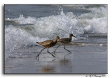 Marbled Godwit and Willet on the Run
