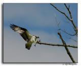 Ospreys Landing with Dinner
