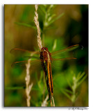 Golden-winged Skimmer - Libellula auripennis