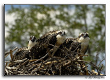The Welcoming Committee, Osprey Fledgelings,