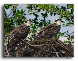 Ospreys  of Southern Maryland