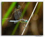 Dragonflies of Southern MD