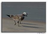Gull Parade