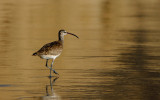 Whimbrel at Sunset