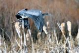 Blue Heron flight (w/sound)