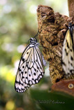 Paper Kite (Idea leuconoe Asia)