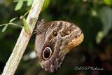Mournful Owl (Caligo eurilochus)