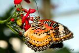 Malay Lacewing (Cethosia hypsea Asia)