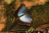 Common Morpho (Morpho peleidis) Morphidae