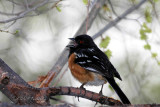 Spotted Towhee (w/ sound)