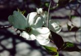 Dogwood in White