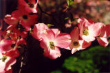 Dogwood in Pink
