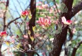 Pink-White Dogwood
