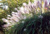 Maiden Hair Grass Backlit