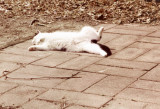 Cat on a Hot Stone Patio