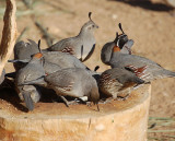 Quail at the feeder.