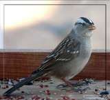White - Crowned Sparrow.