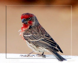 Wind Ruffled House Finch