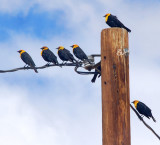 Seven Yellow-Headed Blackbirds