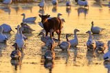 (NOV-2006) A Sika doe finds food among the Snow Geese at Snow Goose Pool.