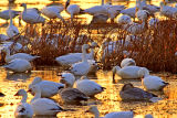 (NOV-2006) Snow Geese rest and feed at Snow Goose Pool.