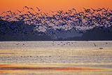 (NOV-2006) A large flock of Snow Geese lifts off from Snow Goose Pool after sunset.