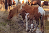 [APRIL 2007] A new foal and its mother enjoy a meal of salt march grass on Assateague Island