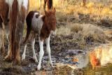 [APRIL 2007] A newly born Assateague foal.