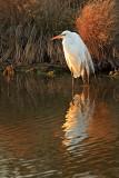 [APRIL 2007] An adult white egret enjoys an April sunset in an Assateague creek
