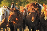 [APRIL 2007] Assateague Island wild horses huddle together as the Chincoteague saltwater cowboys prepare to herd them to safety before the arrival of an approaching Spring storm.