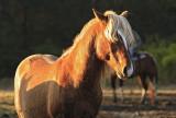 [APRIL 2007] An Assateague wild horse.