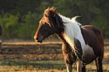 [APRIL 2007] An Assateague wild pony at dusk.