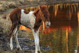 [APRIL 2007] One of the first Spring-time Assateague Island foals: This one is probably only a few days old.