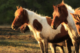 [APRIL 2007] Wild horses at Assateague Island