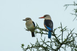Gray Hooded Kingfisher (Immature & Adult)