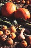 Fall pumpkins, PA