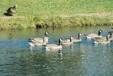 Greater White-fronted Goose and more hybrid offspring