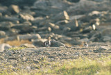 Snow Buntings-basic plumage